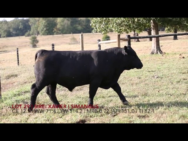 Edgewood Angus Lot 29