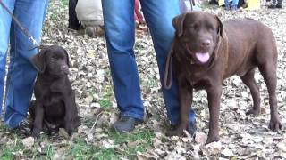 Лабрадор - областная выставка собак ''Сумы-осень 2015''