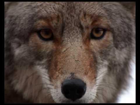 Native American -The Coyote-Sacred Spirit
