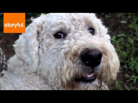 Komondor Dogs Cuddle With Chicks, Deer and Goats (Storyful, Dogs)