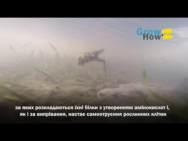 Весняне підтоплення посівів озимої пшениці