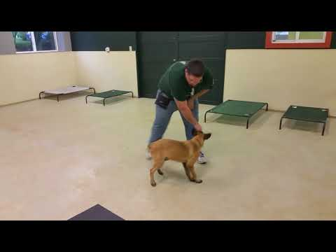 K9 Unleashed, Chaos, Belgian Malinois puppy, personal protection dog for sale