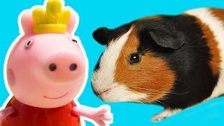 Мультики СВИНКА ПЕППА все серии подряд с Беллой(В новом мультике для детей вы увидите, как морская свинка Белла разговаривает, свистит вместе со свиной..., 2016-10-25T05:19:12.000Z)