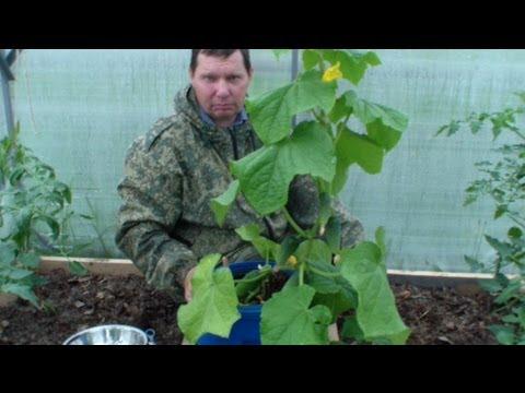 видео: Ранний огурец в баке в томатной теплице