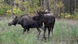 40 Point Moose Named Hook and Girlfriend 1080p