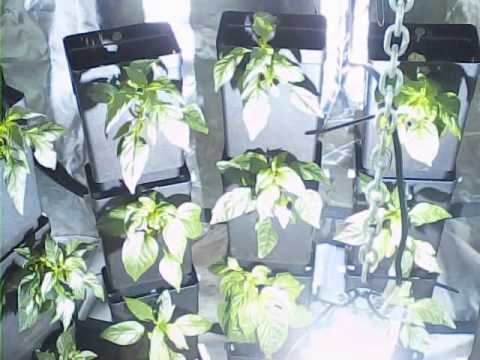 Vertical growing timelapse in a grow tent under 600w hps/mh & Vertical growing timelapse in a grow tent under 600w hps/mh - YouTube