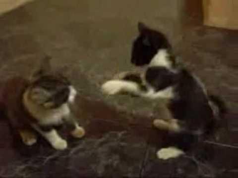 pelea de gatos con loquendo.