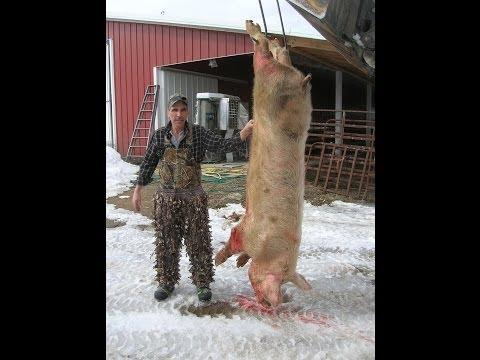 A Pig Hunt In Morley, Mi.