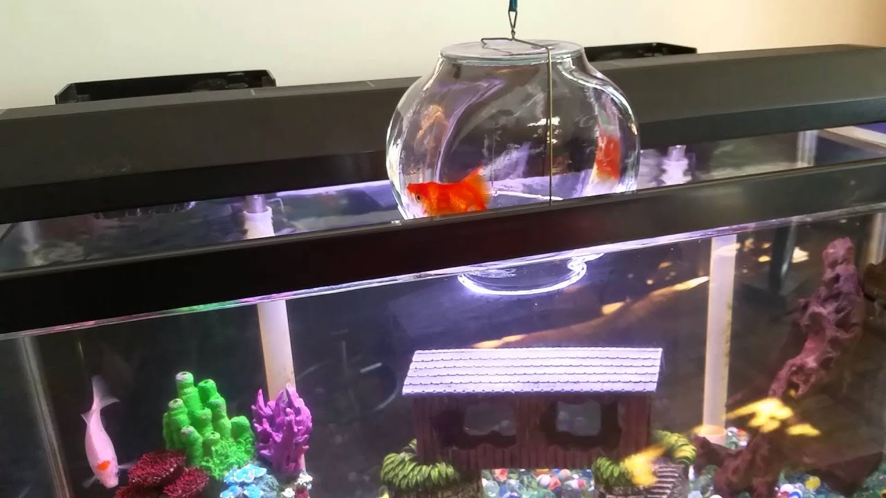 aquarium fish above water line hanging out youtube
