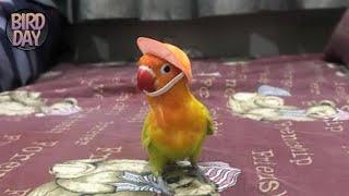 Burung Pintar | Bagaimana cara saya melatih lovebird?