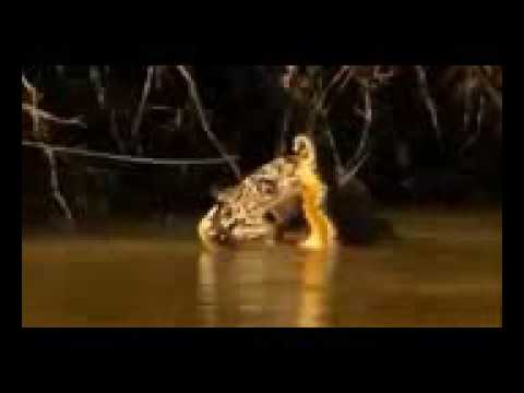 animals in direct and excluded someJaguar attack Crocodile  Jaguar vs Crocodile