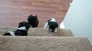 Havanese puppies 7 weeks go up and down stairs