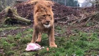Christmas dinner for the Linton Zoo lions