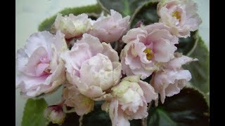 20 самых красивых сортов фиалок Пуминовой Наталии с описанием. Серия ЯН.