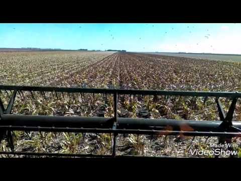 Darling downs harvest 2017