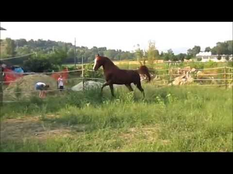 AGM HELMUT  arabian horse