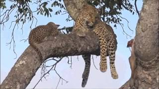 Safari Live : Thandi Female Leopard and her young Cub this morning on drive Jan 26, 2018
