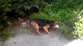 Собака носит щенят