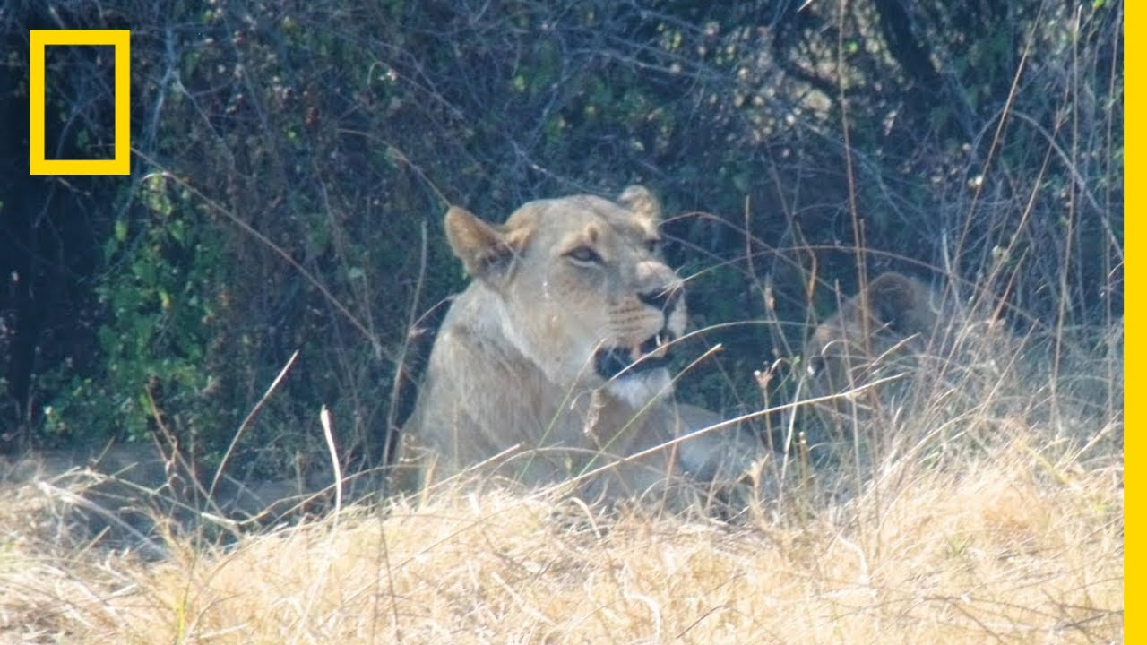 Coexisting With the Lions of Botswana | National Geographic