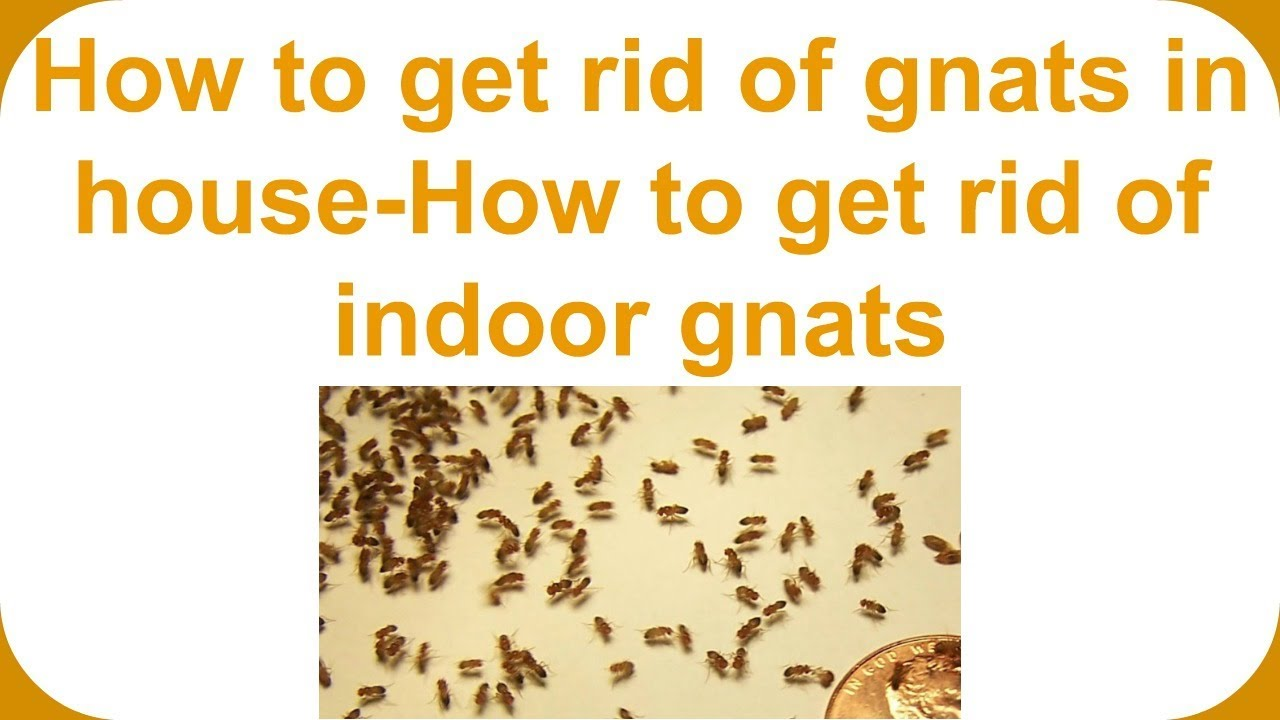 How to get rid of gnats in bedroom