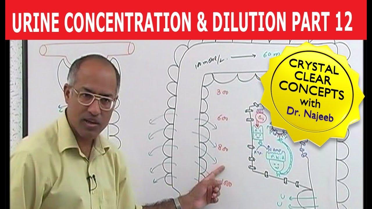 How Do Kidneys Make Urine Nephron Countercurrent Multiplication