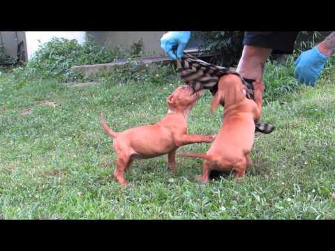 Camelot Puppies