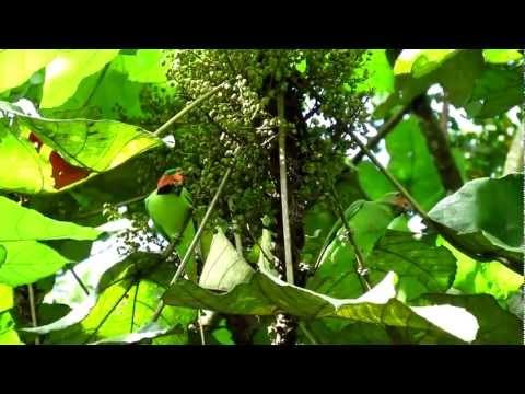 Long-Tailed Parakeet-Singapore