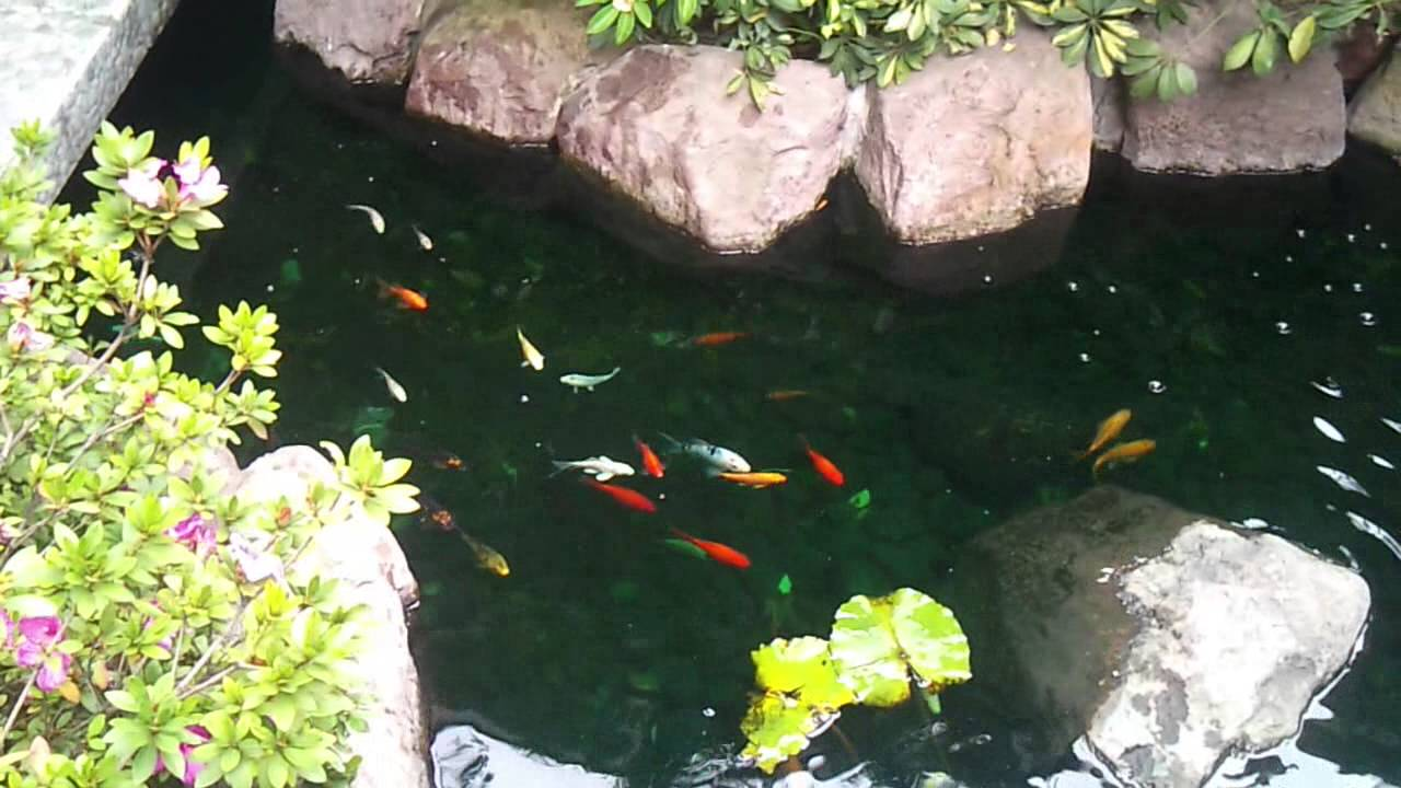 Estanque de peces koi youtube for Fuentes para peces