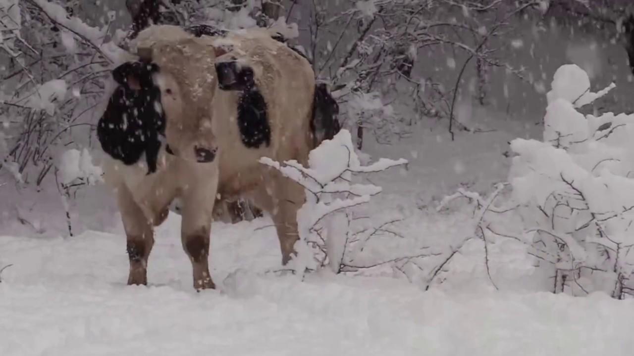 Vacas Y Toros Jugando En La Nieve Youtube