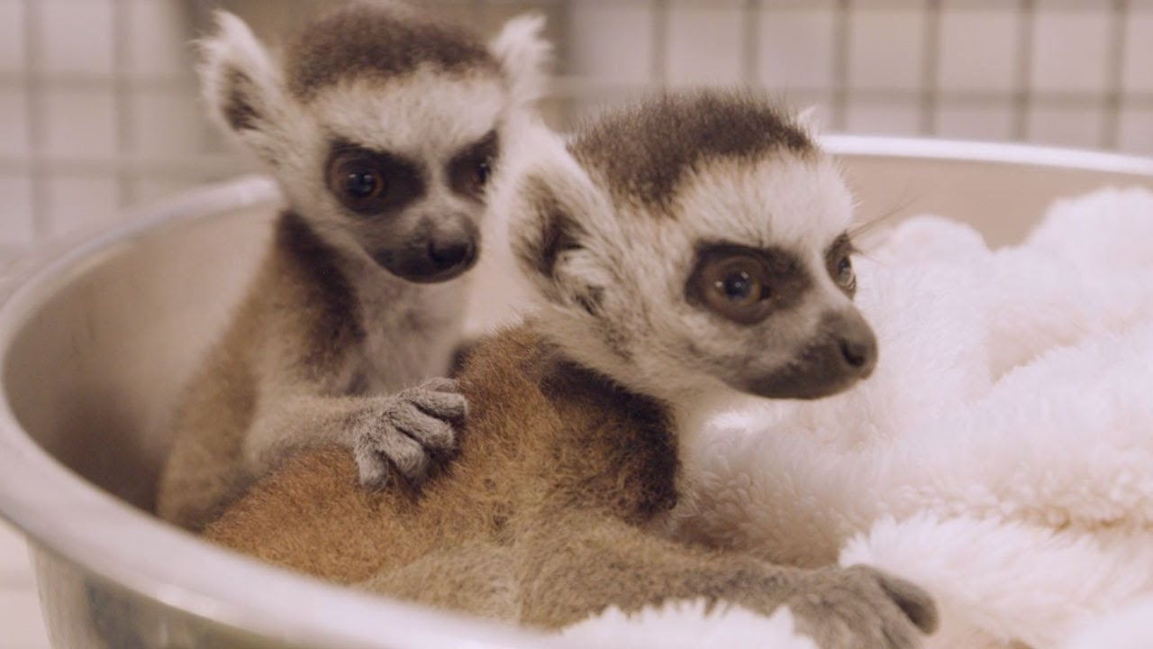 Twin Ring-Tailed Lemur Babies Get Health Checks and Debut at the San Diego Zoo