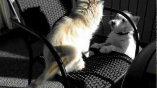 Cat Pummels Dog:  Himalayan Persian Vs. West Highland White Terrier