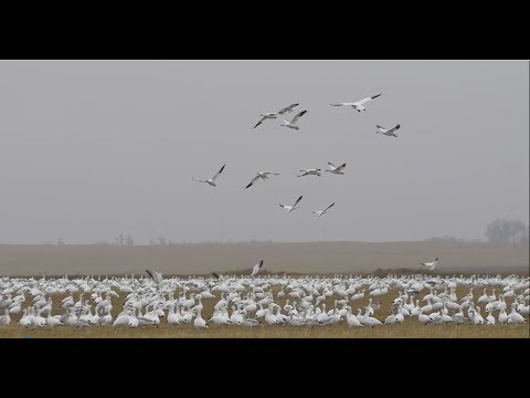 Hired To Hunt Season 3 #13:  Draw The Short Straw.  Duck And Goose Hunting.  Limit Hunts In Alberta