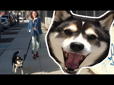 Dog Walks The Owner & it's Amazing!