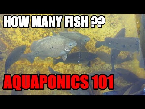 How Many Fish For Aquaponic System | Fish To Grow Bed Ratio