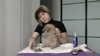 часть 2. расчесывание щенка шпица