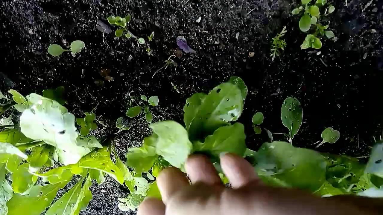 Руколла после обработки средством Искра против 62 насекомых вредителей, спустя 2-3 дня