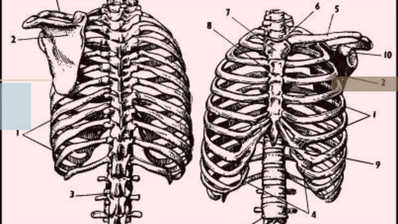 Anatomía del Tórax - YouTube