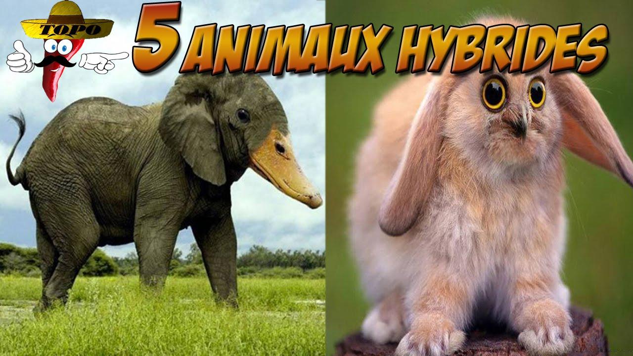 top 5 des animaux hybrides topo cinco 3 youtube. Black Bedroom Furniture Sets. Home Design Ideas