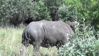 Rhinos - African Safari