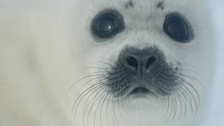 Baixar Jackie Evancho: A Voice for Seals