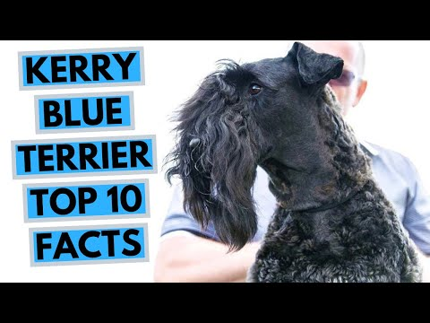 Kerry Blue Terrier  TOP 10 Interesting Facts