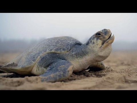 Gahirmatha Marine Sanctuary Marks Record Egg Nesting of Olive Ridley Turtles | MBC TV
