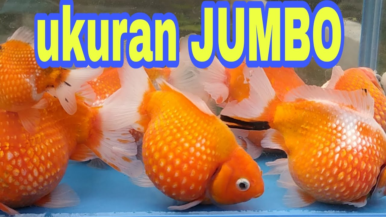 Ikan Mas Koki Mutiara Ukuran Jumbo Youtube