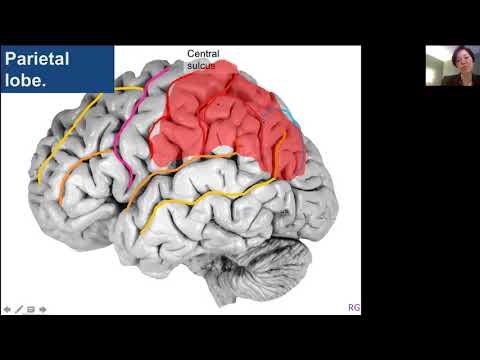 Brain Anatomy Part 2 Health4theworld Academy