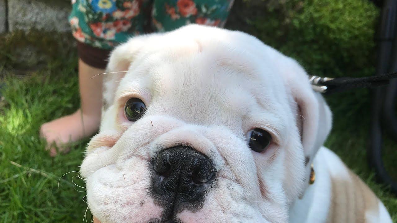 Meet our New English Bulldog Puppy! Sarus