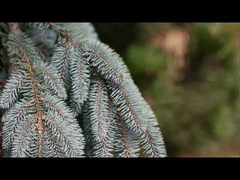Home and Garden Landscape - Top Five Pine Trees