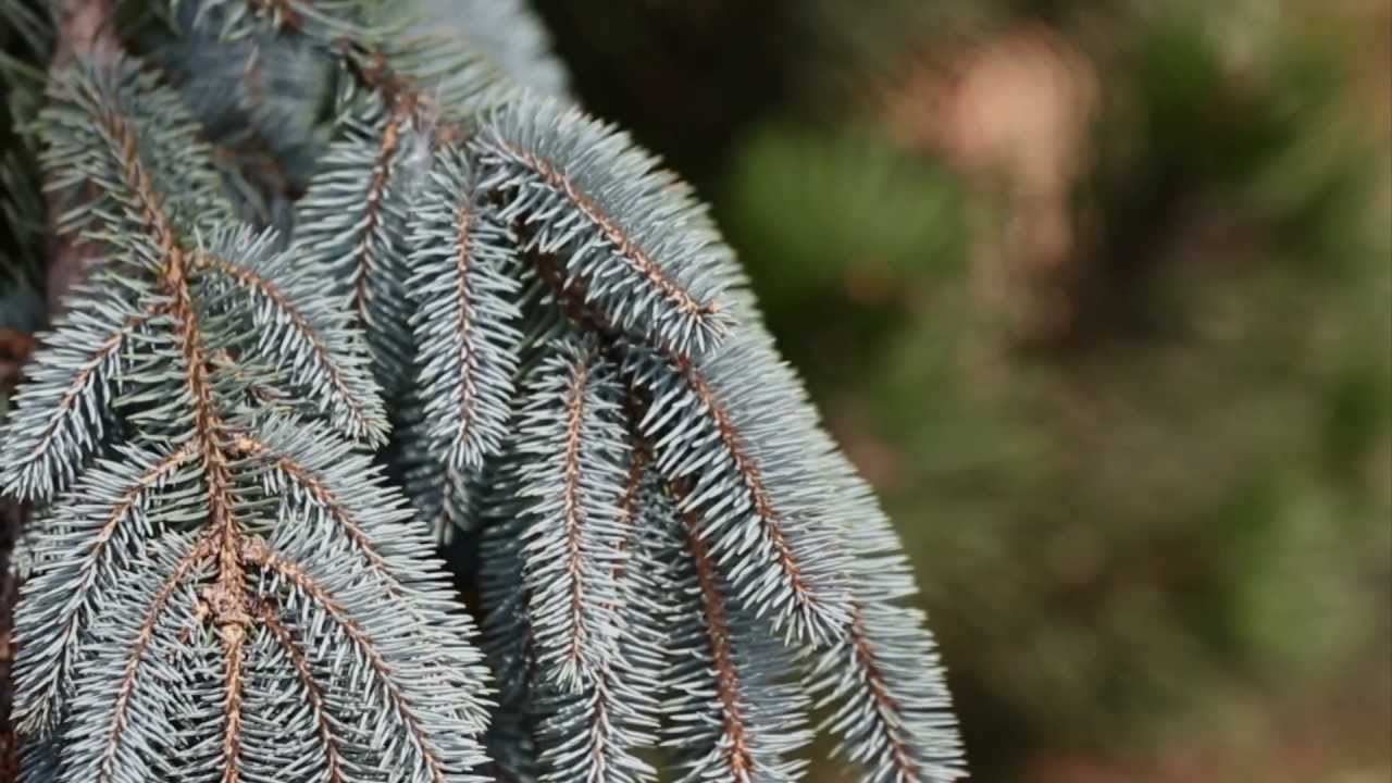 Home And Garden Landscape Top Five Pine Trees Youtube