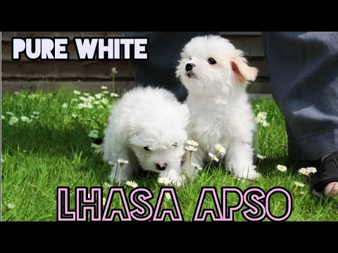 27-april-2020-(mr-raja)-lhasa-apso-pure-white-good-quality-in-west-bengal,-siliguri