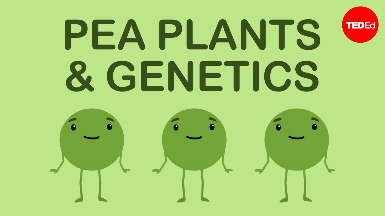 How Mendel S Pea Plants Helped Us Understand Genetics Hortensia