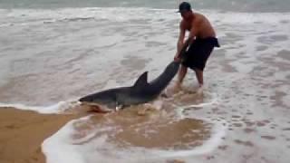 Great White Shark release